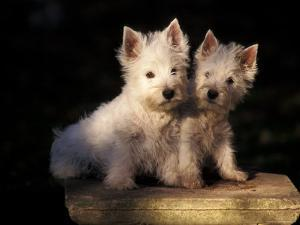 Domestic Dogs, Two West Highland Terrier / Westie Puppies Sitting Together by Adriano Bacchella