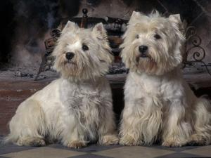 Domestic Dogs, Two West Highland Terriers / Westies Sitting Together by Adriano Bacchella