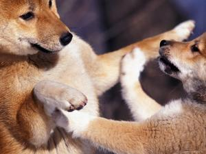 Domestic Dogs, Two Young Shiba Inus Playfighting by Adriano Bacchella