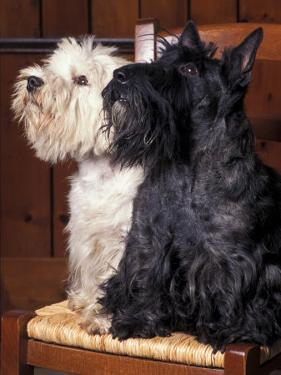 Domestic Dogs, West Highland Terrier / Westie Sitting on a Chair with a Black Scottish Terrier by Adriano Bacchella