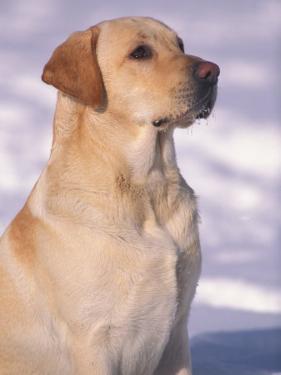 Labrador Retriever Portrait in Snow by Adriano Bacchella