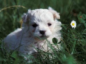 Maltese Puppy Sitting in Grass Near a Daisy by Adriano Bacchella