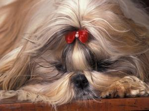 Shih Tzu Lying Down with Hair Tied Up by Adriano Bacchella