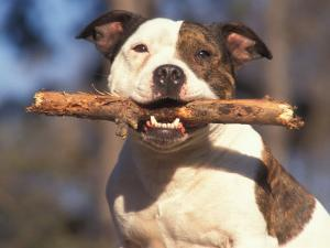 Staffordshire Bull Terrier Carrying Stick in Its Mouth by Adriano Bacchella