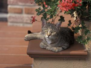 Tabby Cat Resting on Garden Terrace, Italy by Adriano Bacchella