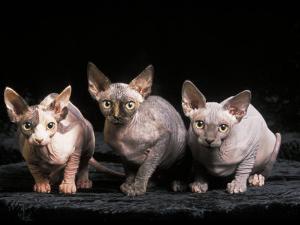 Three Hairless, Sphinx Cats by Adriano Bacchella