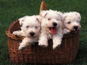 Three West Highland Terrier / Westie Puppies in a Basket by Adriano Bacchella