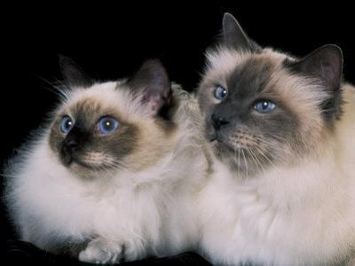 Two Birman Cats Showing Deep Blue Eyes by Adriano Bacchella