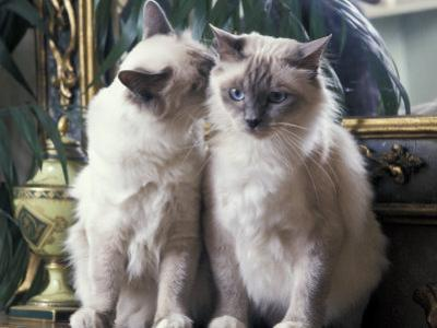 Two Birman Cats Sitting on Furniture, Interacting by Adriano Bacchella