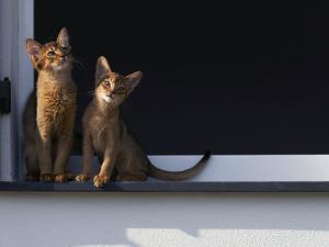 Two Somali Cats Sitting on Window Ledge, Italy by Adriano Bacchella