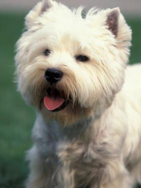 West Highland Terrier / Westie Panting by Adriano Bacchella
