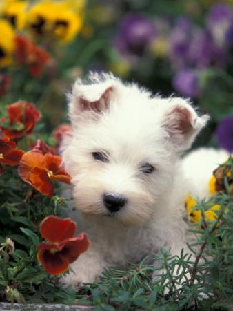 West Highland Terrier / Westie Puppy Among Flowers by Adriano Bacchella
