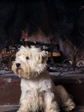 West Highland Terrier / Westie Sitting in Front of a Fireplace by Adriano Bacchella