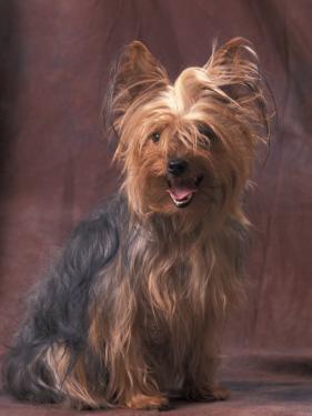 Yorkshire Terrier Studio Portrait by Adriano Bacchella