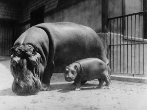 Adult and Baby Hippopotamus