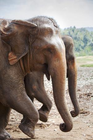 https://imgc.allpostersimages.com/img/posters/adult-elephants-elephantidae-at-the-pinnewala-elephant-orphanage-sri-lanka-asia_u-L-PQ8T7N0.jpg?p=0