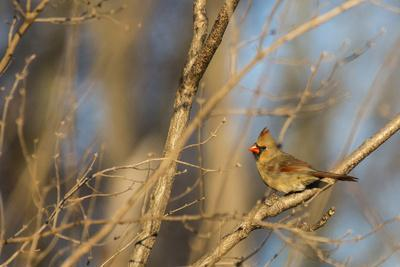 https://imgc.allpostersimages.com/img/posters/adult-female-eastern-northern-cardinal-in-defiance-ohio-usa_u-L-PN6Q350.jpg?p=0