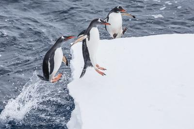 https://imgc.allpostersimages.com/img/posters/adult-gentoo-penguins-pygoscelis-papua-leaping-onto-ice-in-the-enterprise-islands_u-L-PNFYX10.jpg?artPerspective=n
