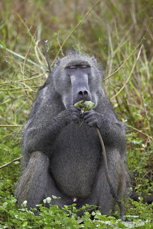 https://imgc.allpostersimages.com/img/posters/adult-male-chacma-baboon-papio-ursinus-eating-a-water-lily-tuber_u-L-PQ8O0Z0.jpg?p=0