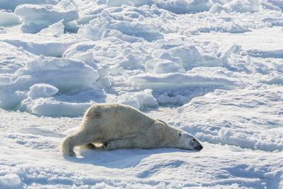 https://imgc.allpostersimages.com/img/posters/adult-polar-bear-ursus-maritimus-cleaning-fur-on-ice-floe_u-L-PQ8U950.jpg?p=0