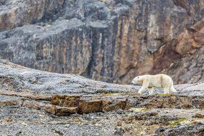 https://imgc.allpostersimages.com/img/posters/adult-polar-bear-ursus-maritimus-in-the-mist-in-the-savage-islands_u-L-PQ8PDB0.jpg?p=0