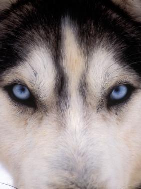 Focus - Husky Eyes by AdventureArt