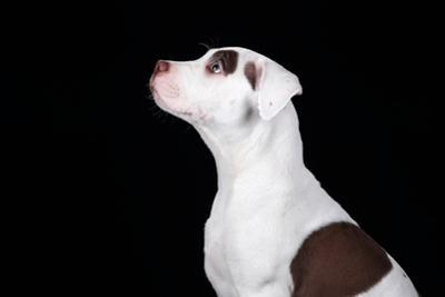Cute American Pit Bull Terrier Puppy on a Black Background by adyafoto