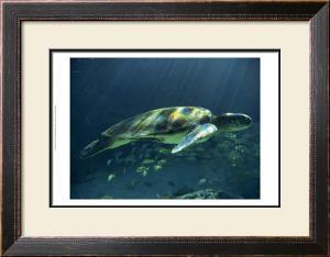 Aegean Sea Turtles I