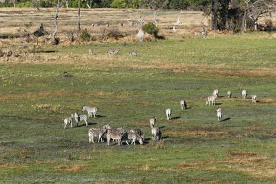 https://imgc.allpostersimages.com/img/posters/aerial-view-of-plains-zebras-equus-quagga-okavango-delta-botswana-africa_u-L-PQ8SUZ0.jpg?p=0