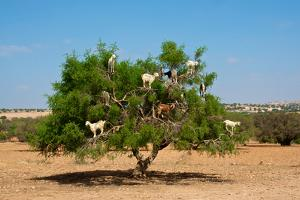 Moroccan Goats in an Argan Tree (Argania Spinosa) Eating Argan Nuts by Aerostato