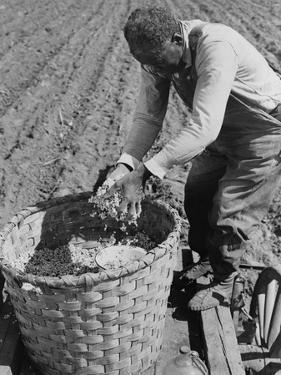 African American Farmer Planting Cotton in a Plowed Field in Butler County, Alabama, April 1941