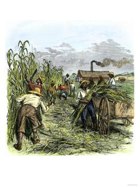African American Slaves Harvesting Cane on a Sugar Plantation