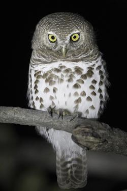 African Barred Owl (Glaucidium Capense) Perched at Night, South Luangwa National Park, Zambia. July