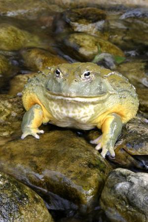 African Bullfrog or Giant Pyxie