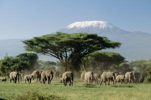 African Elephant Herd Infront of Mt, Kilimanjaro