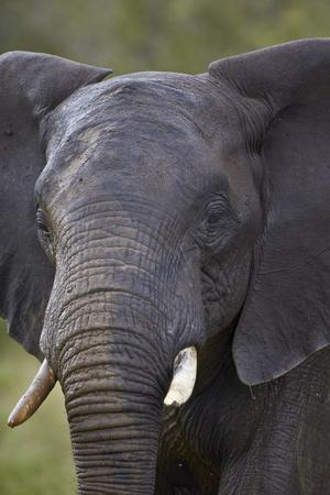 https://imgc.allpostersimages.com/img/posters/african-elephant-loxodonta-africana-kruger-national-park-south-africa-africa_u-L-PQ8NEB0.jpg?p=0