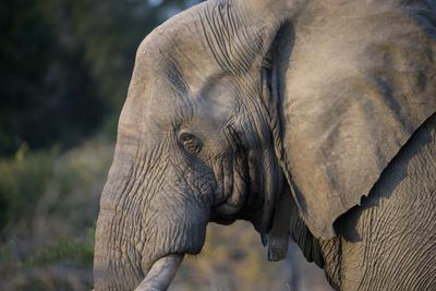 https://imgc.allpostersimages.com/img/posters/african-elephant-loxodonta-africana-kruger-national-park-south-africa_u-L-Q1GYLYS0.jpg?artPerspective=n