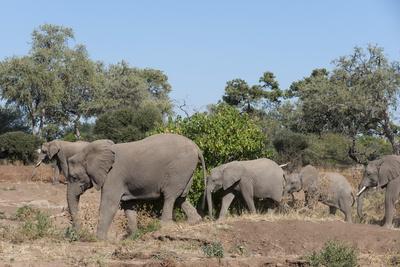 https://imgc.allpostersimages.com/img/posters/african-elephant-loxodonta-africana-mashatu-game-reserve-botswana-africa_u-L-PQ8M6B0.jpg?p=0