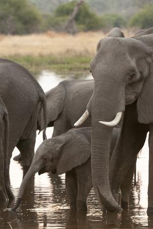 https://imgc.allpostersimages.com/img/posters/african-elephant-loxodonta-africana-okavango-delta-botswana-africa_u-L-PNGJZC0.jpg?p=0