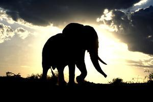 African Elephant Silhouetted Against Sunset