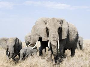 African Elephants in a Forest, Serengeti, Tanzania