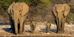 African Elephants (Loxodonta Africana) Family Standing at Waterhole, Etosha National Park, Namibia