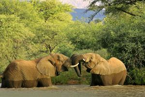 African Elephants Two Individuals Fighting Playfully