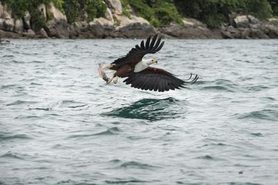 https://imgc.allpostersimages.com/img/posters/african-fish-eagle-haliaeetus-vocoder-bird-of-prey-malawi-africa_u-L-PWFS4C0.jpg?p=0