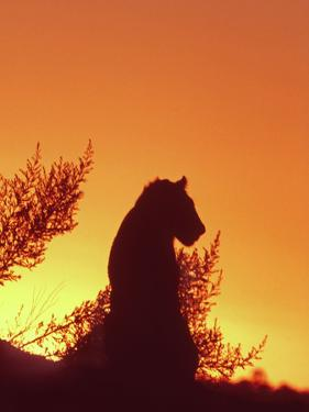 African Lion Silhouette Lions Stir, as the Sun