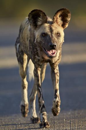 https://imgc.allpostersimages.com/img/posters/african-wild-dog-african-hunting-dog-cape-hunting-dog-lycaon-pictus-running_u-L-PWFCOQ0.jpg?p=0