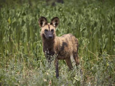 https://imgc.allpostersimages.com/img/posters/african-wild-dog-african-hunting-dog-cape-hunting-dog-lycaon-pictus_u-L-PWFCRS0.jpg?p=0