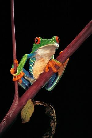https://imgc.allpostersimages.com/img/posters/agalychnis-callidryas-red-eyed-treefrog_u-L-PZQND30.jpg?p=0