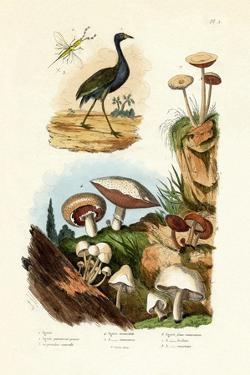 Agami Heron, 1833-39