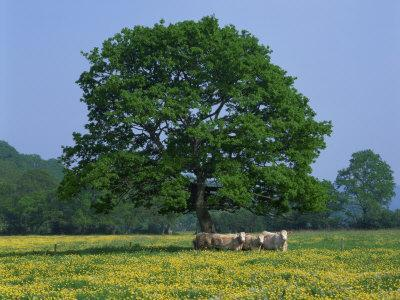 https://imgc.allpostersimages.com/img/posters/agricultural-landscape-of-cows-beneath-an-oak-tree-in-a-field-of-buttercups-in-england-uk_u-L-P7XIJW0.jpg?p=0